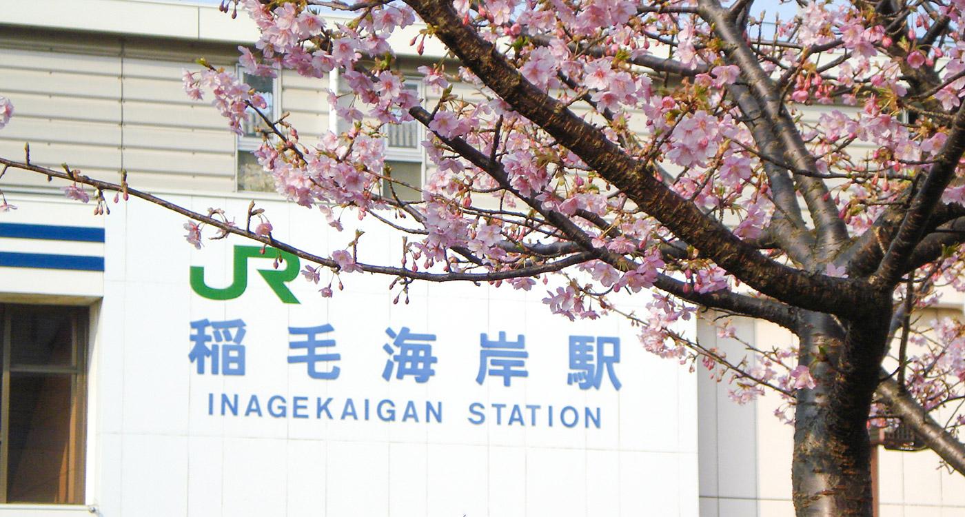 稲毛海岸駅前 河津桜